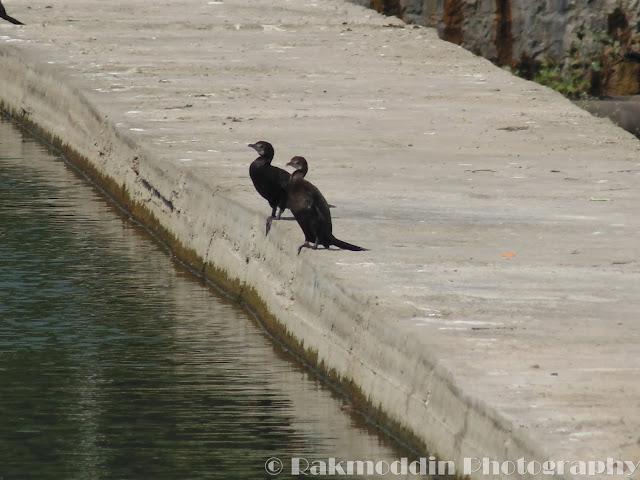 Little Cormorant at Pashan Lake, Pune, Maharashtra, India