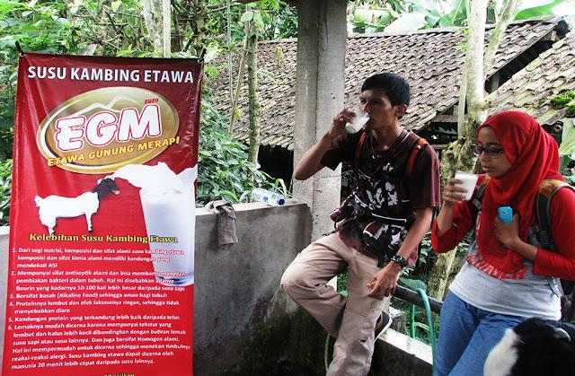 Menuguk Susu Kambing Etawa (foto: Charis Fuadi)