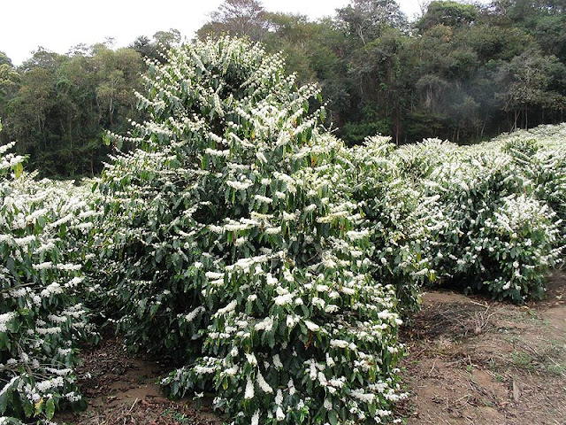 Mature coffee plants in full flower