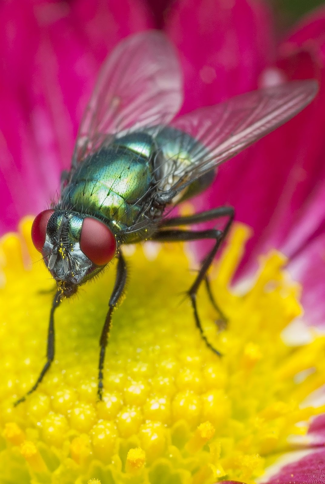 Picture of a fly up close.
