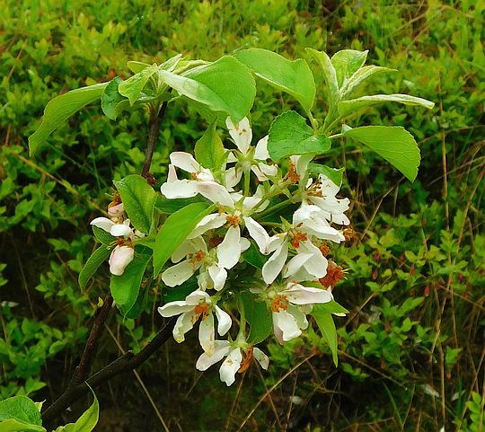 Czeremcha pospolita (Prunus padus).