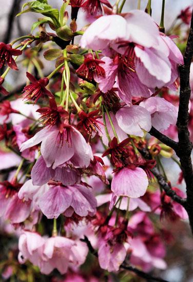 Cherry trees in full bloom, Imajuku, Kyushu.