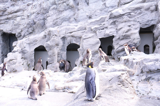 Penguin walk at Asahiyama Zoo