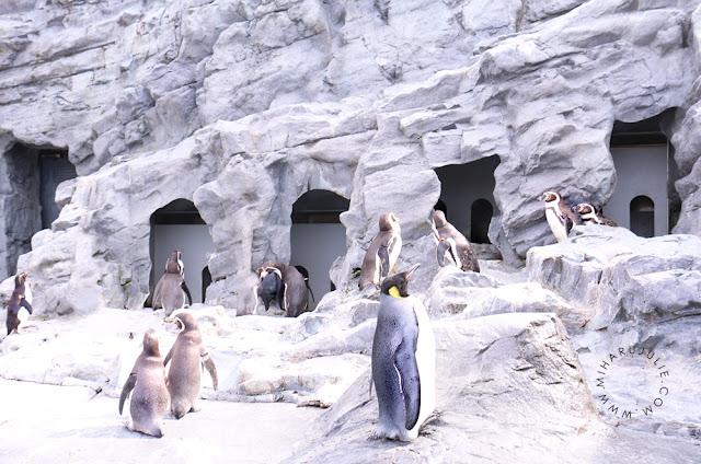 Penguin walk at Asahiyama Zoo