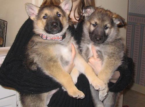 Big German Shepherds: German Shepherd Wolf Puppies