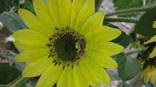 Honeybee%252C%2Bspecies%2Bunknown