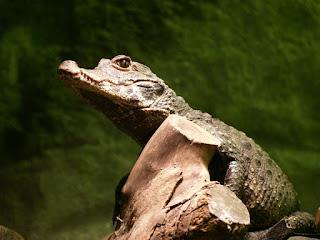 Caïman à lunettes - Caiman crocodilus