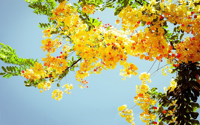 Yellow flower blossom in tree top, with sky and sun behind