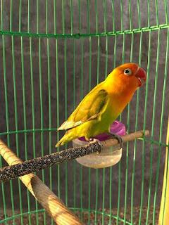 ciri-ciri lovebird kepala emas