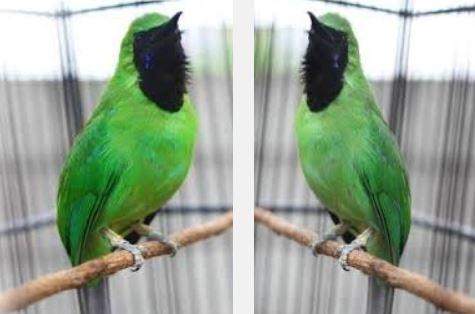 Foto Cucak Hijau Jantan dan Betina Harga Pasaran Terbaru Burung Kicau