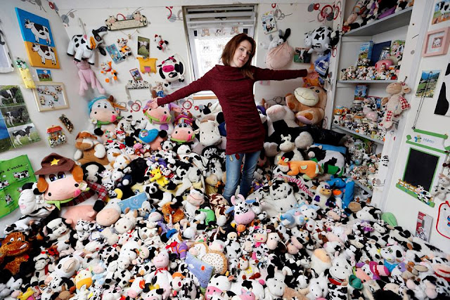 French model collects 1,679 stuffed toy cows