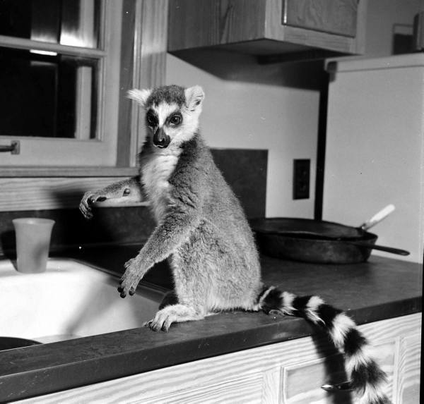 The Passion Of Former Days A Pet Lemur