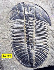 Trilobite fossil like this one can be found in Scotland