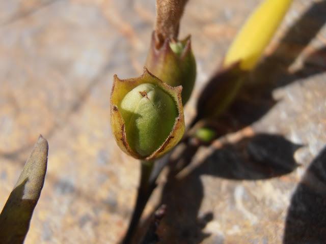 GANDUL: Nicotiana glauca