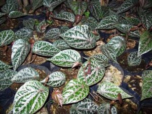 30 Jenis Tumbuhan Dan Tanaman Merambat