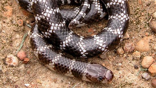 Nova espécie de cobra venenosa é descoberta - Img 2