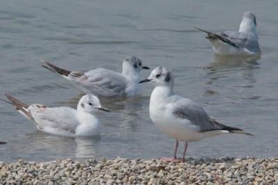 Bonaparte's gull (Chroicocephalus philadelphia)