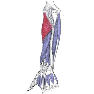 supinator muscle, forearm, picture