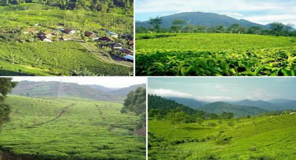 Wisata kebun teh Margawindu sumedang