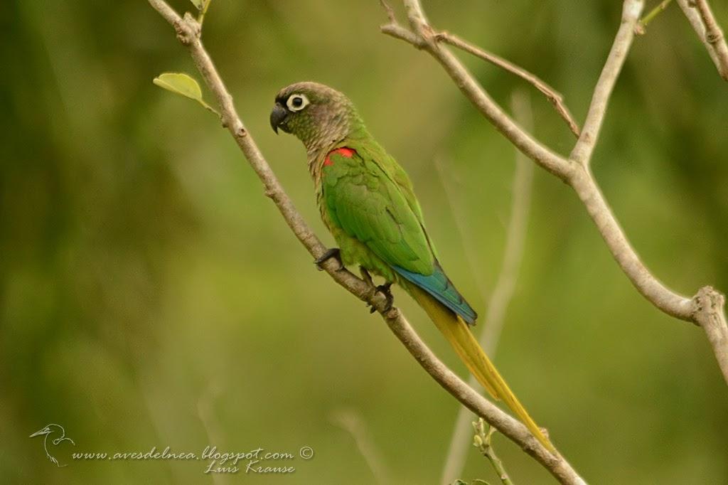 Blaze-winged Parakeet, Chiripepé de ala anaranjada (Pyrrhura devillei)