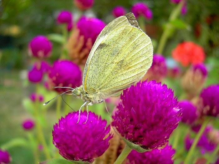 Imagenes de mariposas - wallpaper