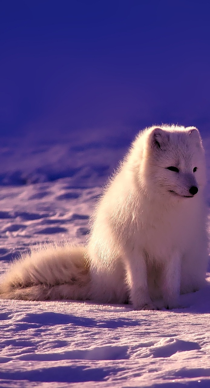 Picture of a Norway white arctic fox.
