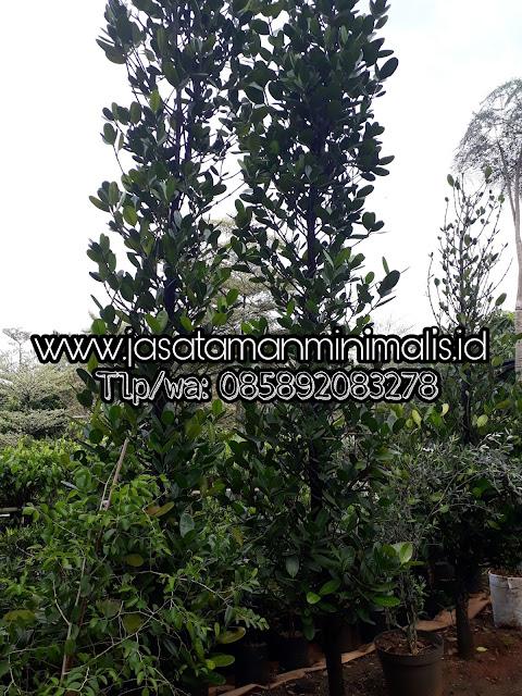 Jual Pohon Azaib Gracinia