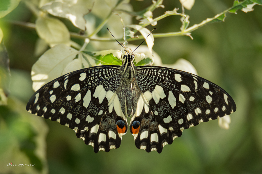 African Lime Butterfly
