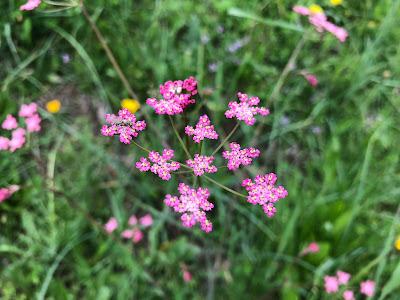 [Apiacaea] Mutellina adonidifolia – Alpine Lovage (Motellina con foglie di adonide)