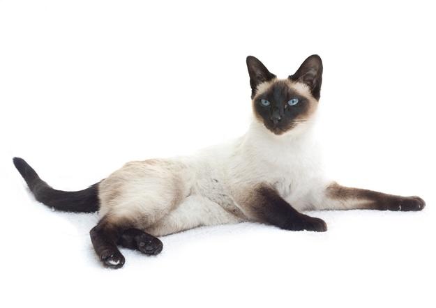 Velika crna bucasta maca