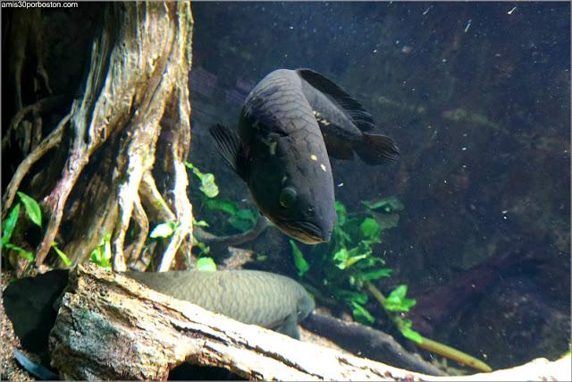 Acuario de Boston: The Ancient Fishes