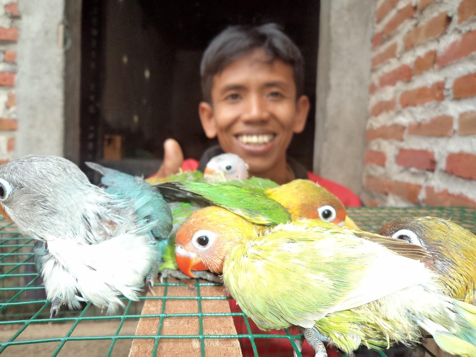 Daftar Harga Lovebird Tahun 2013di Jawa  Menjual Semua Jenis Burung Love Bird Burung Love Bird
