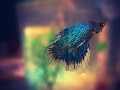 Cara Memilih dan Membeli Ikan Cupang Kualitas Bagus dan Prospek Usaha nya