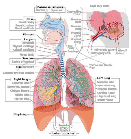 Human Respiratory system, breathing respiration