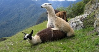 Cute Wallpapers Of All Kind Of Animals All Wallpapers Llama Hd Wallpapers 2013