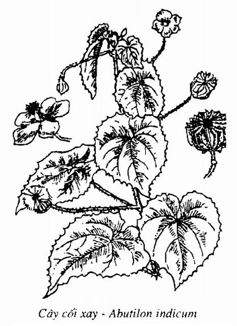 Hình vẽ Cây Cối Xay - Abutilon indicum - Nguyên liệu làm thuốc Chữa Cảm Sốt