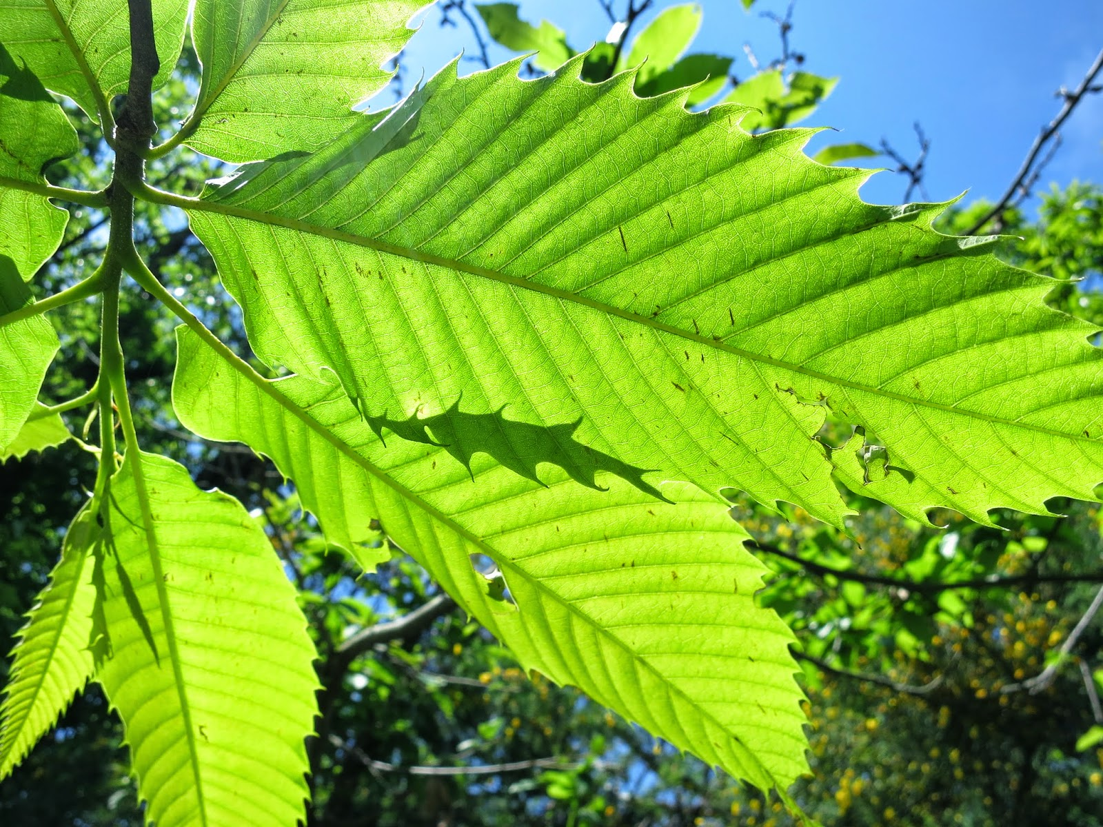 Tuscan chestnut leaves in sun