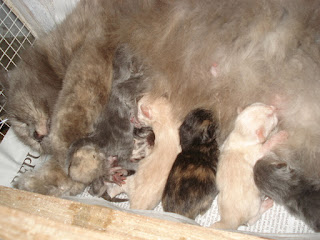anak kucing, induk kucing, ibu kucing