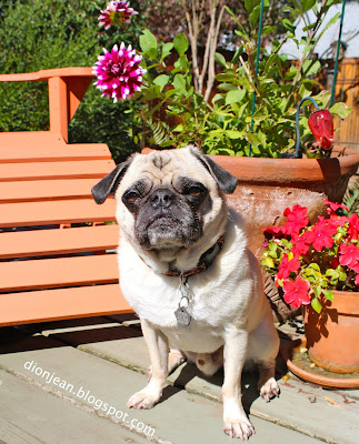 Liam the pug with his flowers