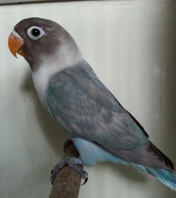 Lovebird Dominant Edge