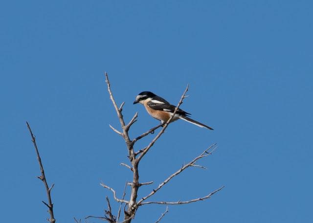Masked Shrike - Cape Greco, Cyprus
