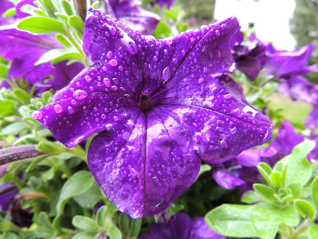 Purple Bloom In Rain Photo