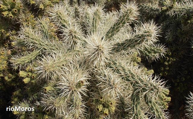 CACTUS DE ARIZONA Cylindropuntia tunicata