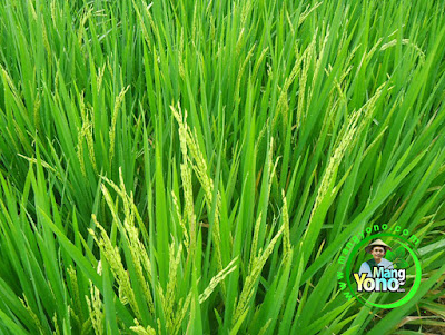 Padi Mekongga 59 HST Keluar Bunga Saatnya Penyemprotan Fungisida