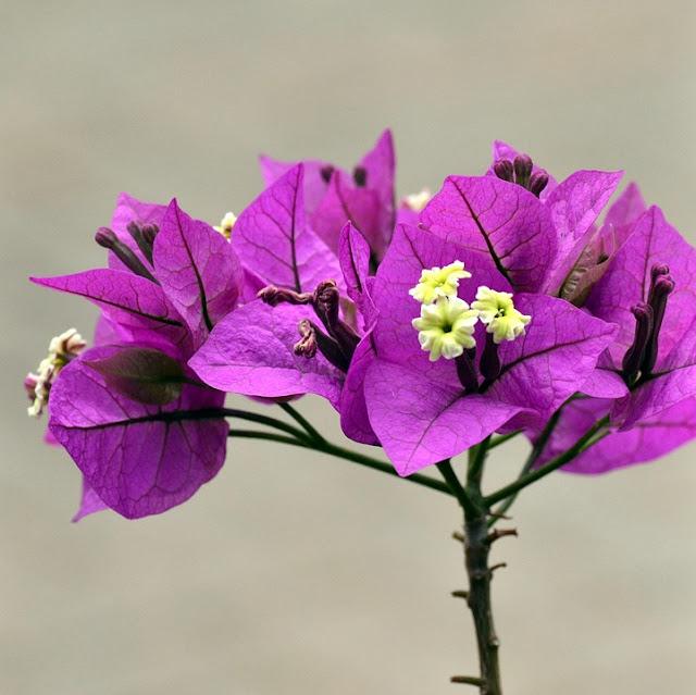 hoa giay mau tim