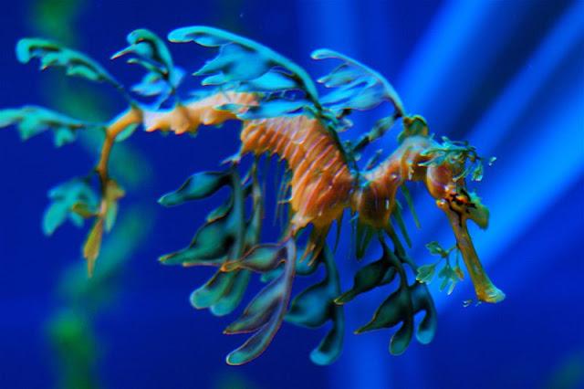 Leafy Sea Dragon - marine life