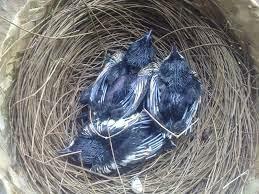 gambar anak burung kacer