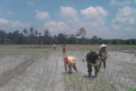 Musim Tanam Padi Tiba di Binjai, Anggota Babinsa Koramil 16/BU lakukan Pendampingan