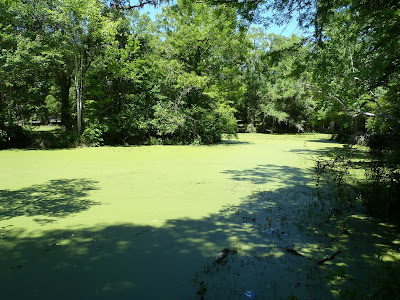 Nigel Foster image, green duckweed covers water surface