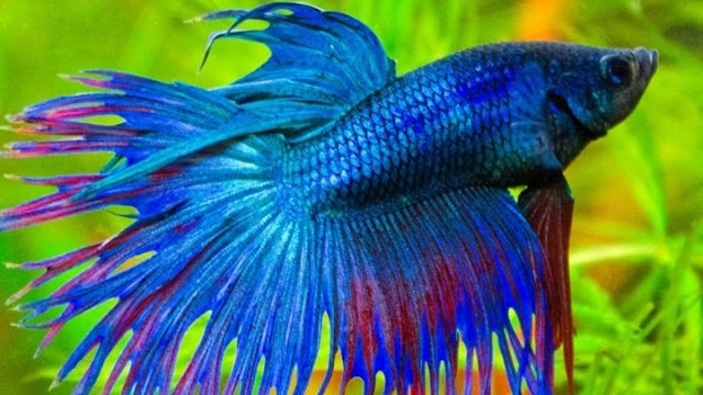 Σύμβολο της Ταϊλάνδης ανακηρύχθηκε το ψάρι μονομάχος του Σιάμ